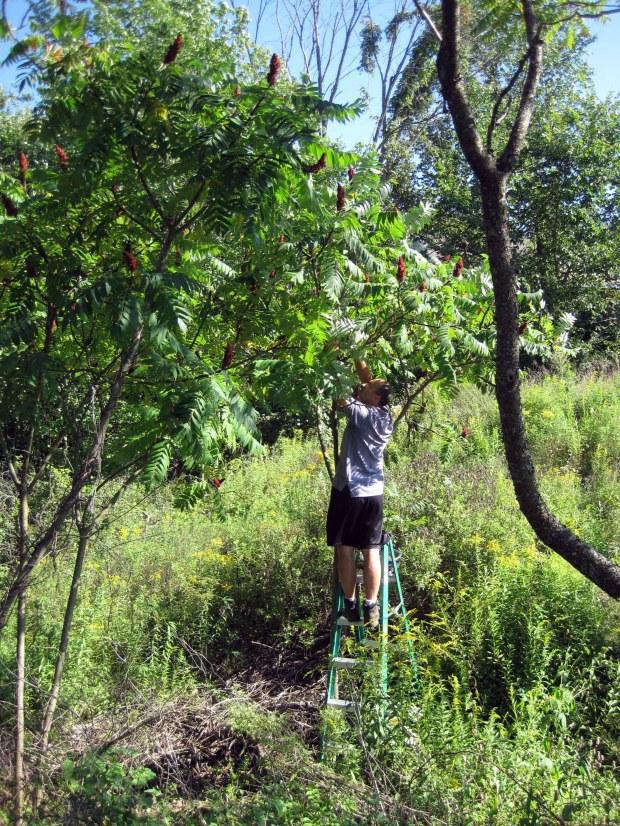 sumac harvest